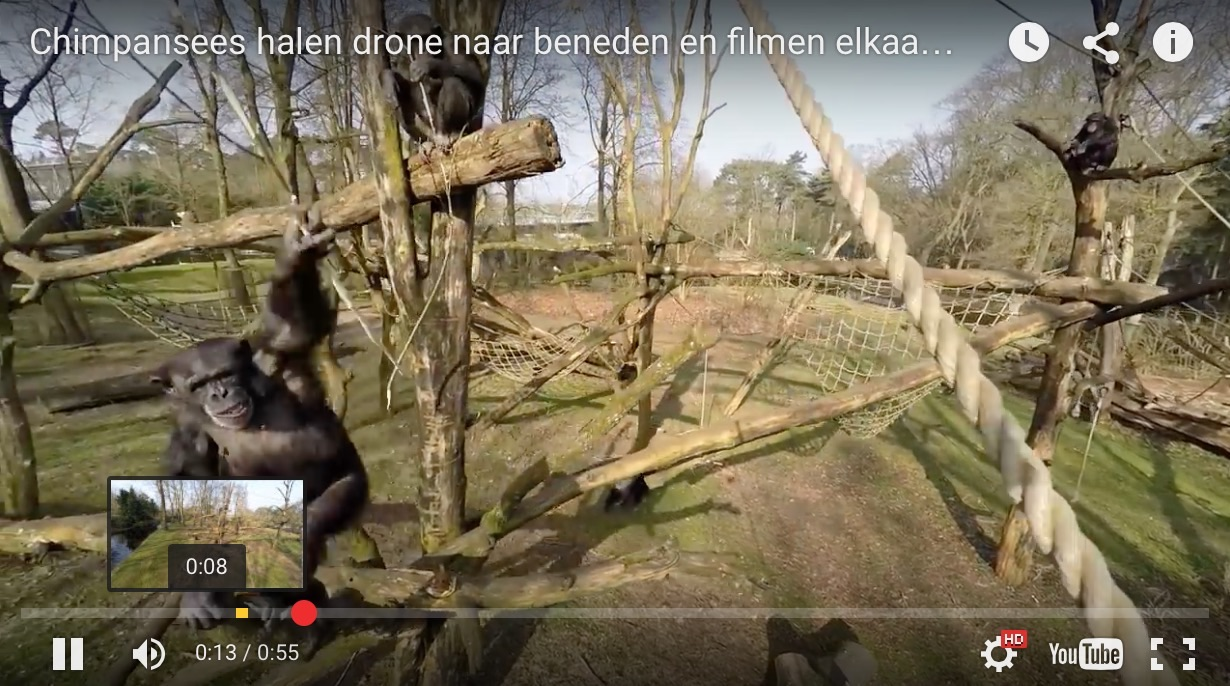 VIDEO: Chimpanzee Attacks a Drone Flying Over a Dutch Zoo