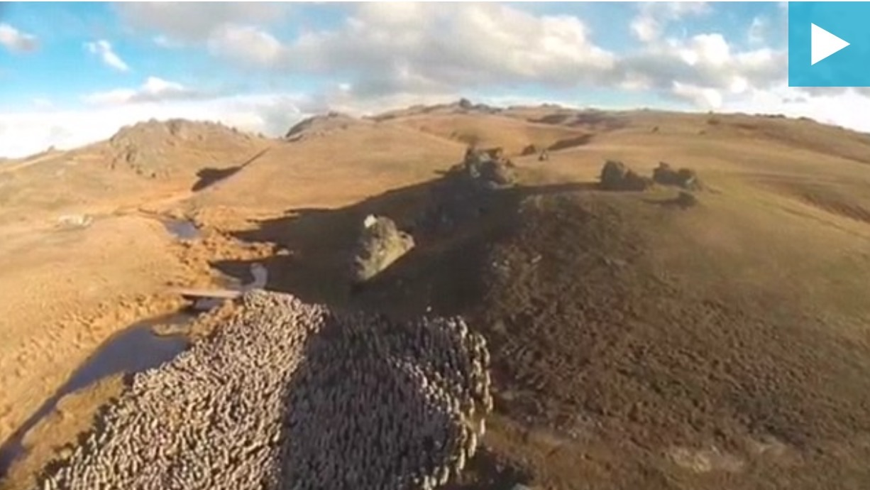 Using a Drone To Herd Sheep
